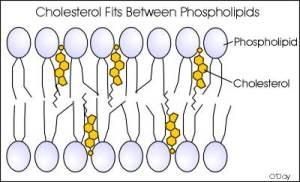 Colesterol Fosfolípidos