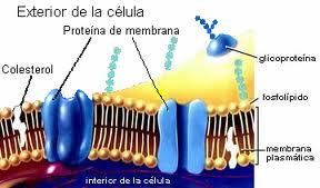 Colesterol membrana plasmática