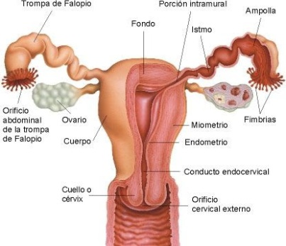 aparato-reproductor-femenino