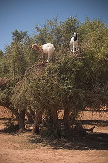 Cabras sobre un árbol de Argán